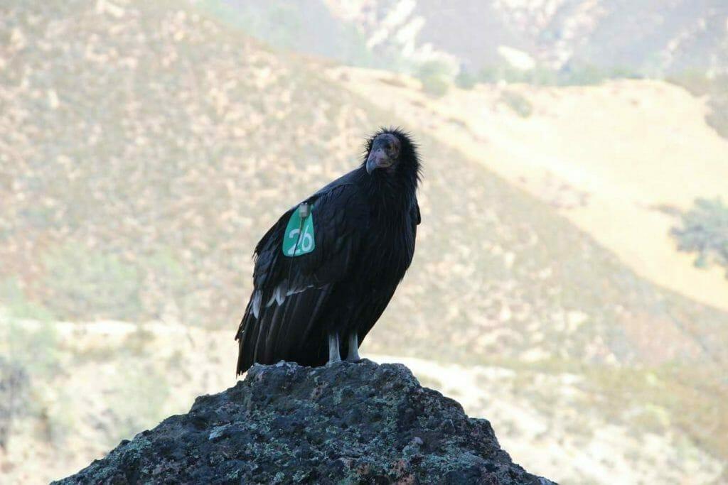 A condor sitting near the trail