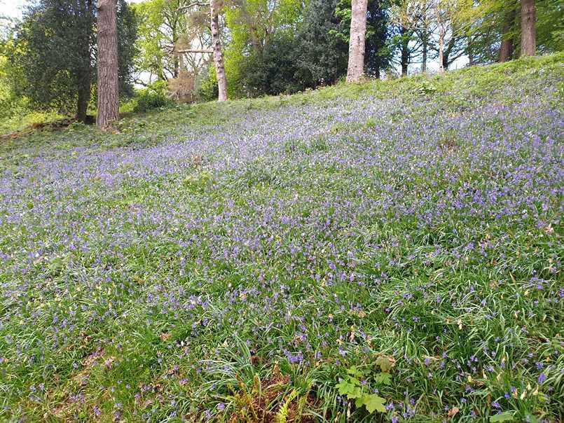 Bluebells in Dora's Field