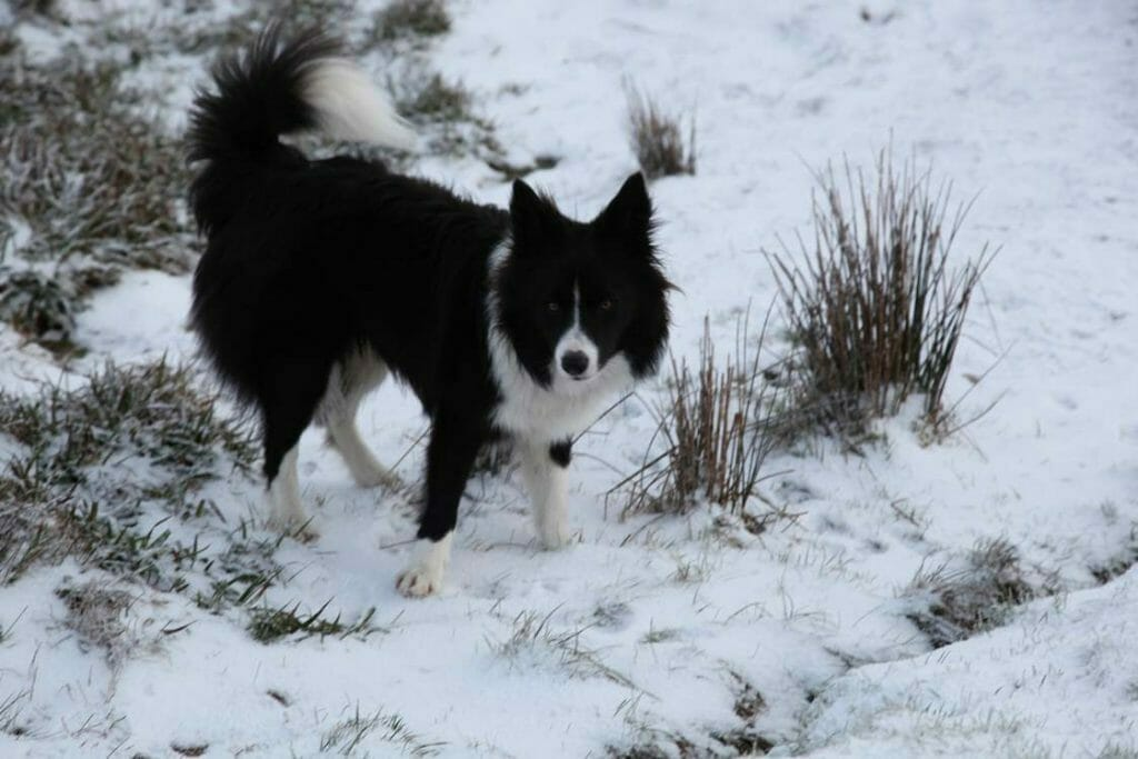 Jasper in the snow on Wansfell