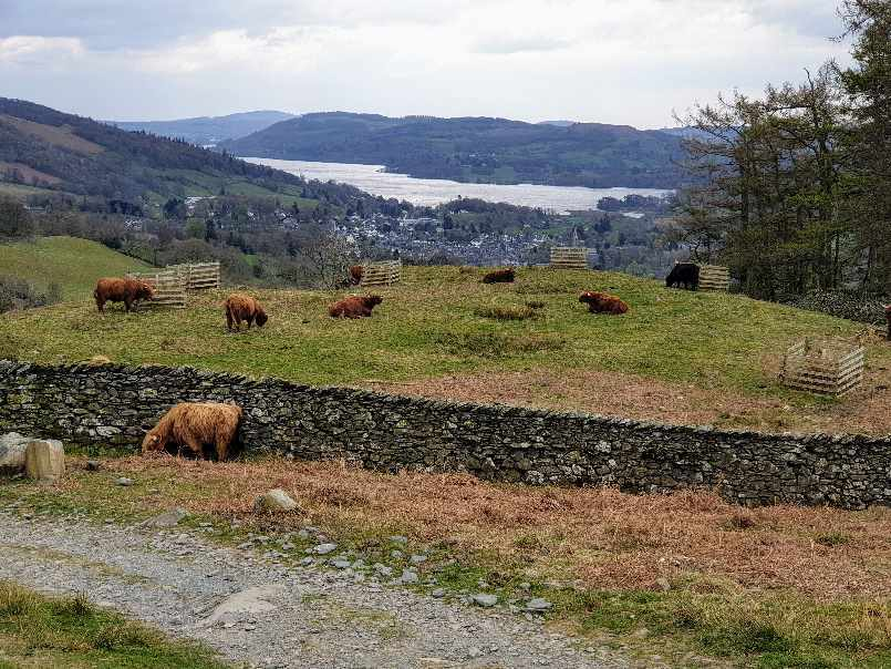 Cows on the hillside above Ambleside