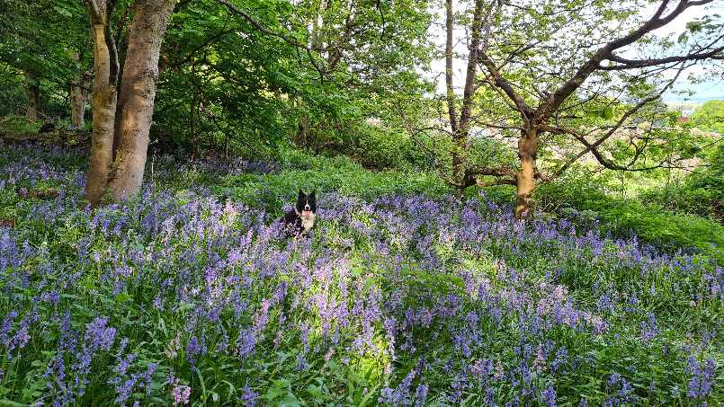 Border Collie sitting in the bluebells