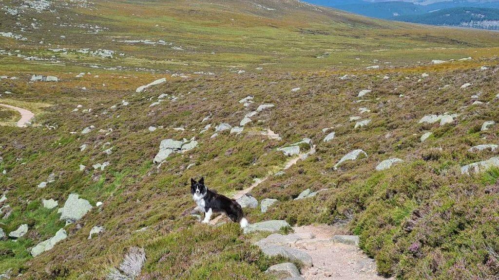Dog on hiking trail on Lochnagar